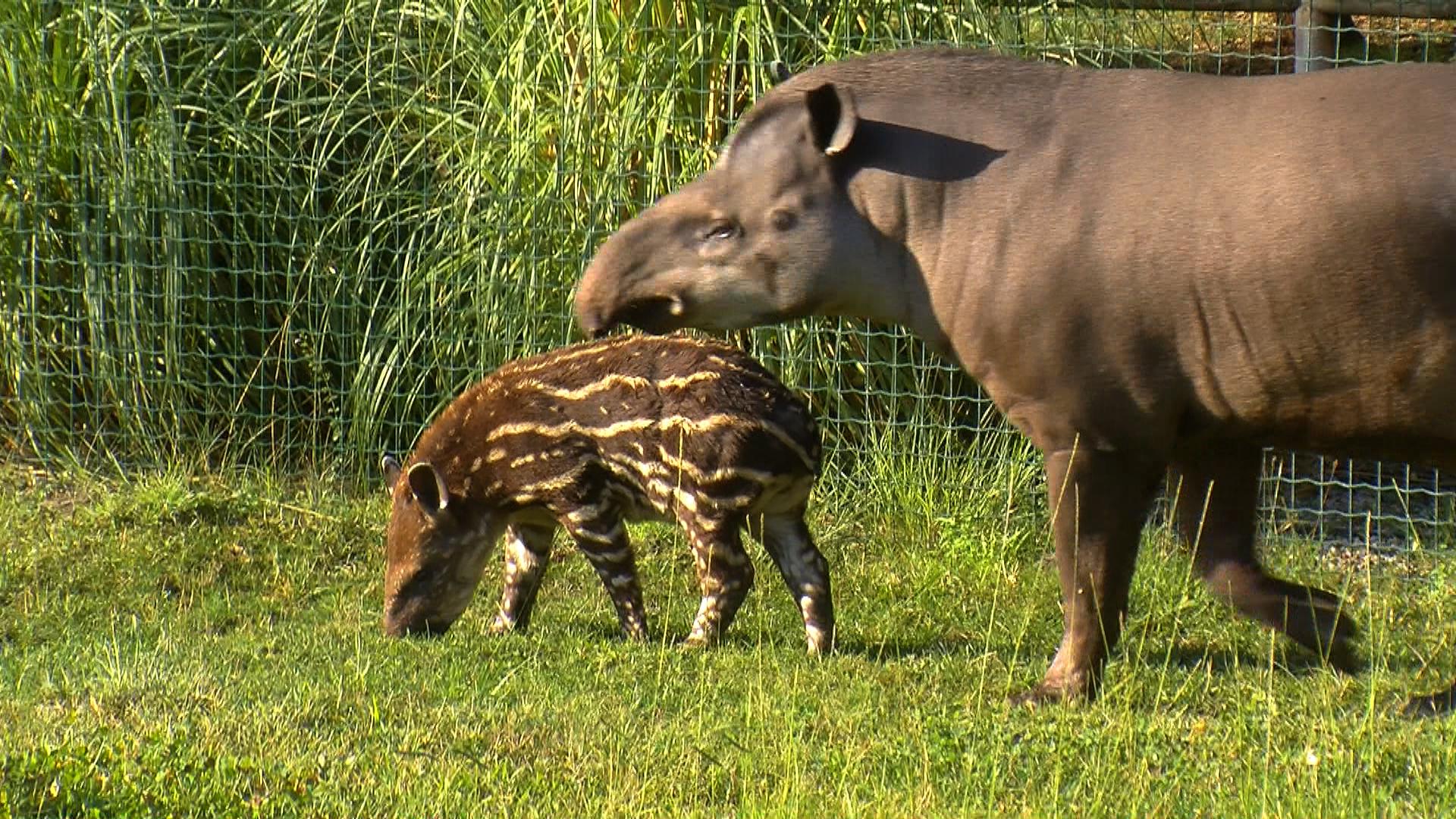 nature d partement naissance rare au zoo de la barben un b b tapir est. Black Bedroom Furniture Sets. Home Design Ideas